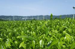 牧之原のお茶-min