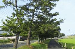 領家の松並木-min