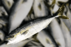 魚1706168-min