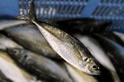魚1706212-min