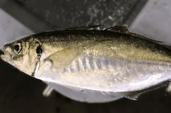 魚1707031-min
