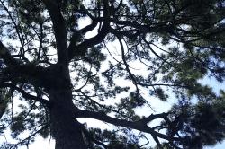 松の木陰-min