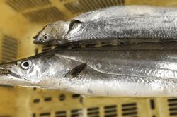 魚1708222-min