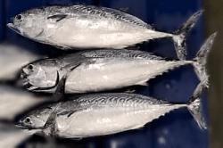 魚1708291-min