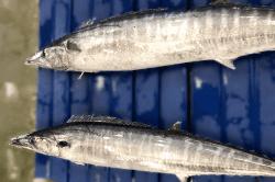 魚1709042-min