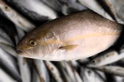 魚1709043-min
