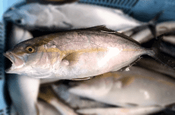 魚1709053-min