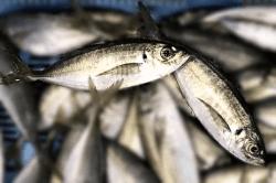 魚1709132-min