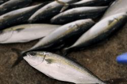 魚1709135-min