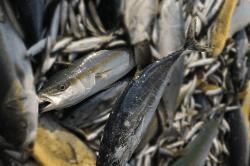 魚1709136-min