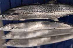 魚1709144-min