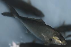 魚1709152-min