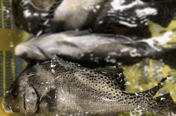 魚1709191-min