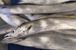魚1709213-i