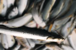 魚1709201-i