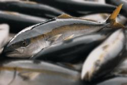 魚1709203-i