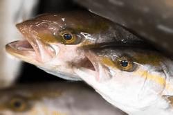魚1709204-i