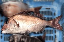 魚1709251-i