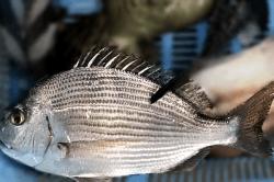 魚1709252-i