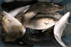 魚1709254-i