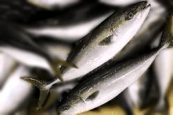 魚1709261-min