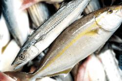 魚1709271-min