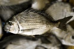 魚1709292-min