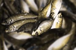 魚1709294-min