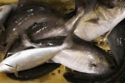 魚1710033-min