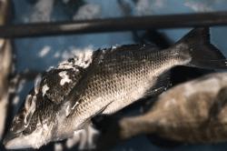 魚1711141-min