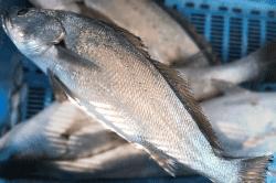 魚1711242-min