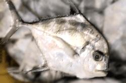 魚1711302-min