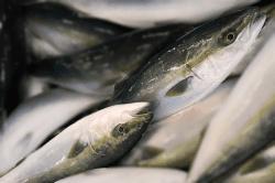 魚1712043-min