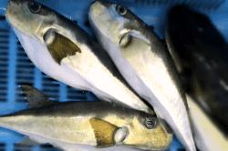 魚1712072-min