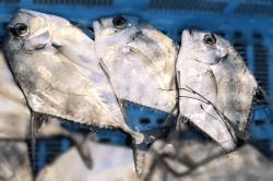 魚1712081-min