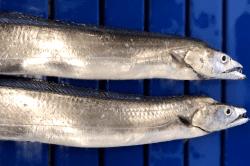魚1712083-min