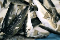 魚1712114-min