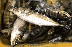 魚1801113-min