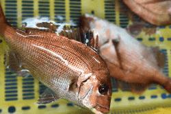 魚1801161-min