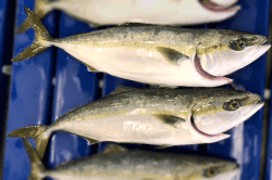 魚1801163-min