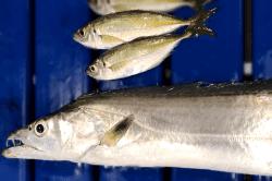 魚1801171-min