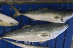 魚1801181-min