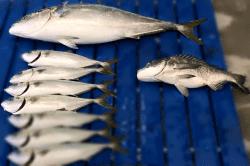魚1801291-min