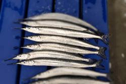 魚180130-min