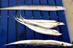 魚1801311-min