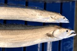 魚1802092-min