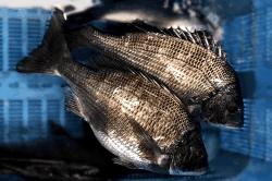 魚1803131-min