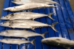 魚1803134-min