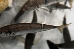 魚1804022-min