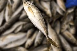 魚1804171-min